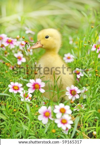 Little young  duck on in flowering shrubs - stock photo
