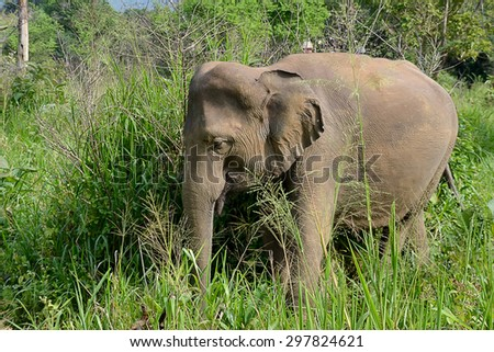 little young elephant in nature walking in high grass photo