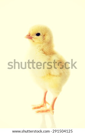 Little young yellow easter chicken - stock photo