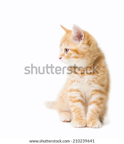 Littler Ginger british shorthair over white background - stock photo