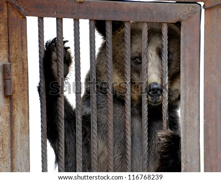 Live bear behind grids of a cage - stock photo