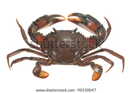 Live Crab Top View Isolated On White Background