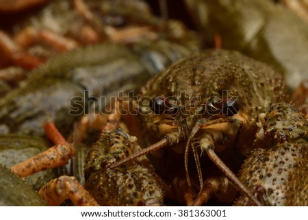Live crayfish in close-up. - stock photo