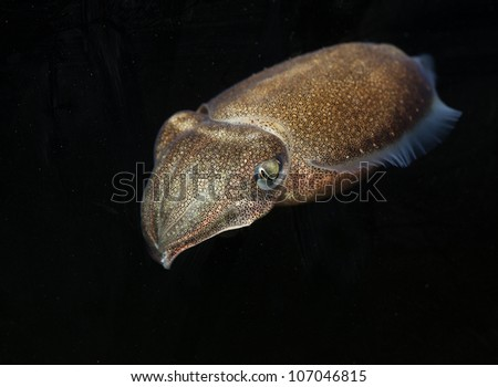 Live cuttlefish in the ocean with black isolated background. - stock photo