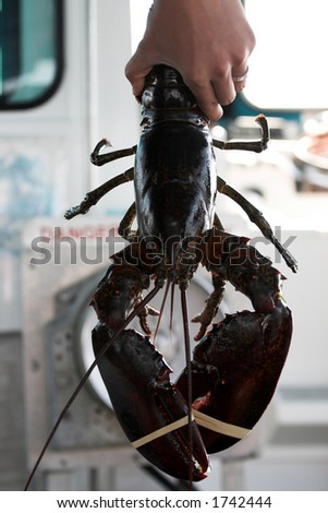 live lobster - stock photo