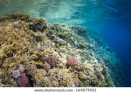 Live, long, colorful coral reef underwater, going almost to the surface of the water, ritch with life at Jackson, Tiran Island, Egypt, near Sharm el Sheikh. - stock photo