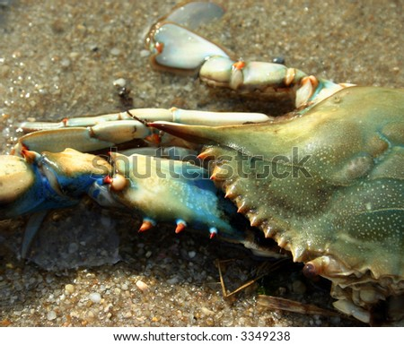 Live Maryland Blue Crab on the Beach