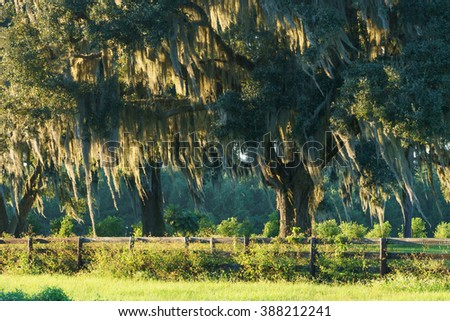 Live Oak tree with Spanish moss in pasture field meadow behind four board country farm ranch overgrown wood fence looking serene peaceful relaxing beautiful southern tranquil  - stock photo