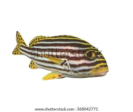 Live Oriental Sweetlips fish sioated white background underwater cut out - stock photo