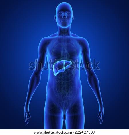 Liver - stock photo