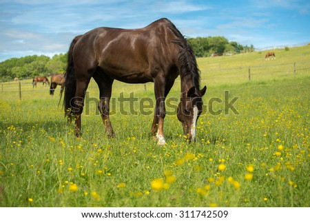 Liver chestnut horse with a white stripe, in a green grass field with yellow flowers and blue sky, eating some grass. - stock photo
