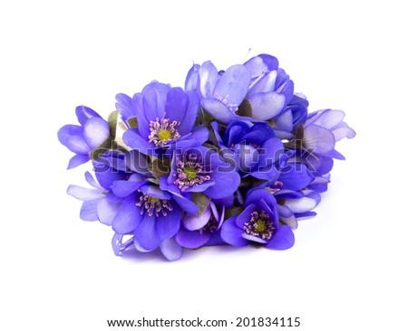 liverwort flowers isolated on white background - stock photo