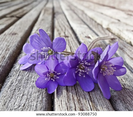 liverwort flowers on wooden table - stock photo