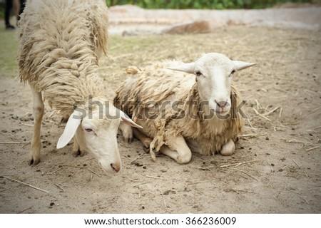 Livestock farm, herd of sheep  - stock photo