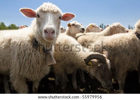 Livestock farm - herd of sheep - stock photo