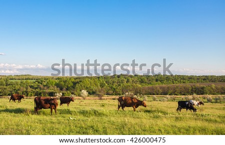 Livestock grazing during sunset in an idyllic valley, sweden - stock photo