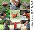 livestock images form the farm, different hen and rooster pictures - stock photo