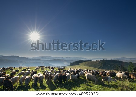 Livestock on pasture high in the hills. Morning.