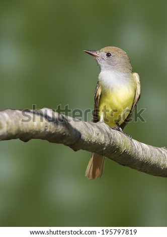 Living on Flies/ A Great-crested Flycatcher during early summer.