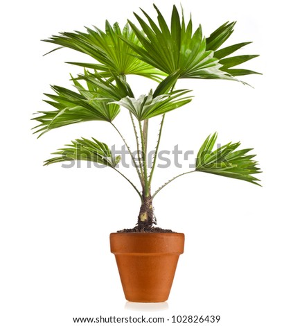 Livistona Rotundifolia palm tree in flowerpot isolated on white - stock photo