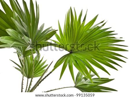 Livistona Rotundifolia palm tree isolated on white - stock photo