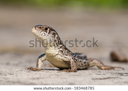 Lizard - stock photo