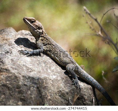 lizard ,animal, wildlife, reptile, nature, wild, on the Rocks in Nepal in the mountains Himalayas in the area Annapurna  - stock photo
