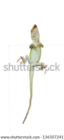 Lizard Carolina anole (Anolis carolinensis) with open jaws on the glass