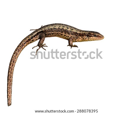 Lizard close-up isolated on the white background