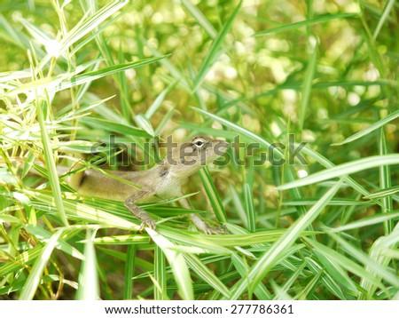 Lizard, galliwasp or chameleon - stock photo