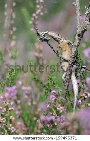 Lizard - hunting Common lizard - stock photo
