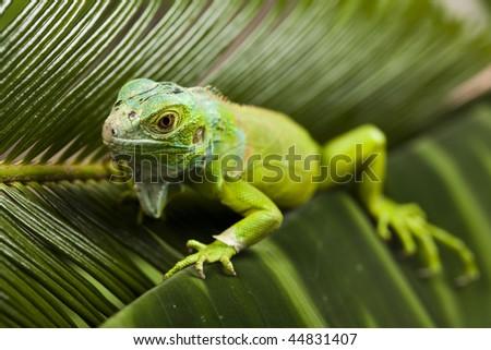 Lizard - iguana - stock photo