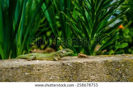 Lizard in his natural habitat. - stock photo