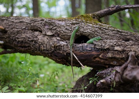 Lizard in nature sitting on a tree.