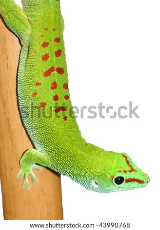 Lizard (isolated)