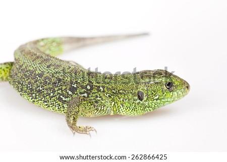 Lizard isolated on white background. - stock photo