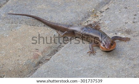 Lizard known as a skink that is on some paver bricks - stock photo