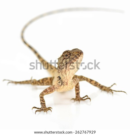 lizard looking for something on white background - stock photo