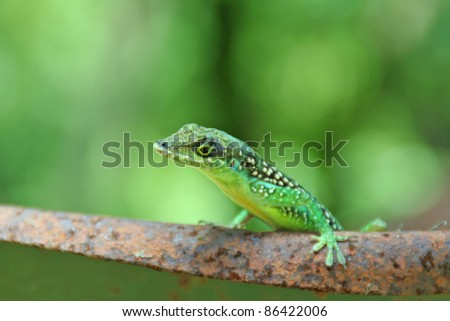 lIzard of martinique , france
