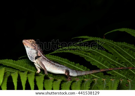Lizard on a green leaf, natural black background - stock photo