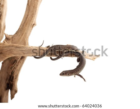 Lizard on a tree isolated on white background