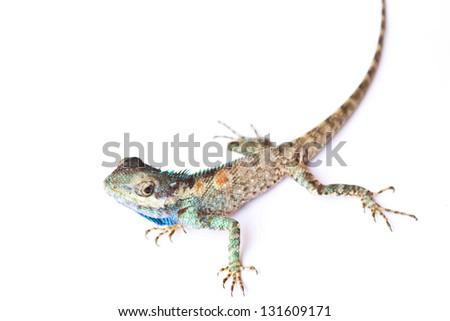 Lizard on a white background - stock photo