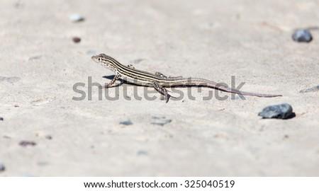Lizard on concrete - stock photo