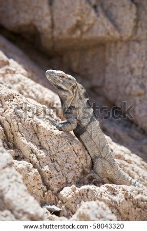 Lizard on rock - stock photo