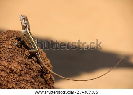 Lizard on the anthill, Sri Lanka - stock photo
