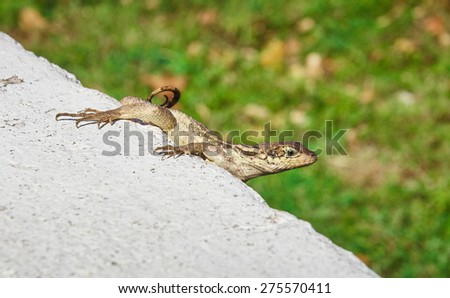 Lizard on the green herb and the concrete bloc. Sun of the caribbean, Jamaica beach for a cruiser in the bahamas.