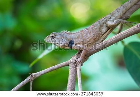 Lizard on tree,Thailand - stock photo