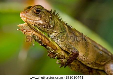 lizard on tree  Yasuni, Ecuador - stock photo