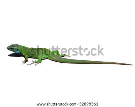 Lizard on white - stock photo
