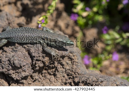 Lizard photographed on the island of madeira